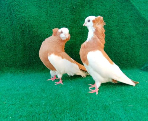 comerner breeding pair