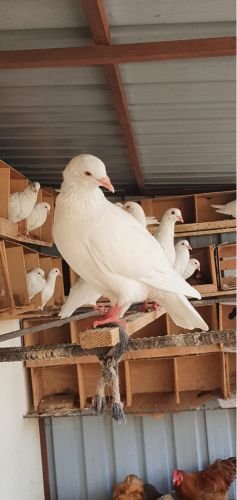 french pigeons for sale
