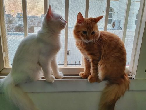 mixed persian male and  pure persian female kitten with each