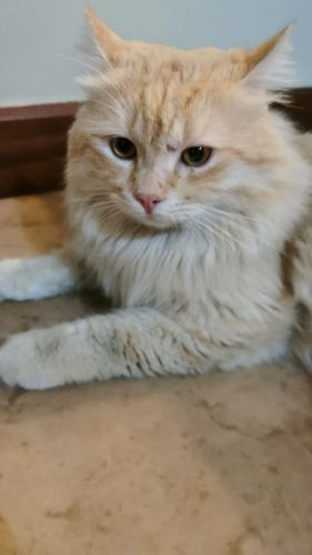 Female Cat needed to mate