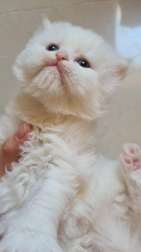 pure moon face Persian kitty for sale