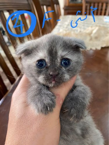 Scottish Fold Cats for Sale