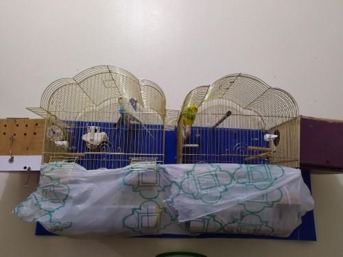 three budgie birds male and female + one male + 2 cages + 2