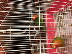 love bird and budgie