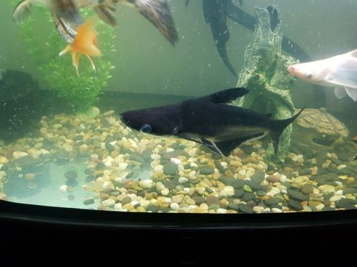iridescent sharks 2 year old in perfect condition one is alb