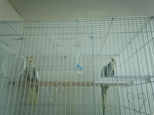 two cocktail with cage with delivery