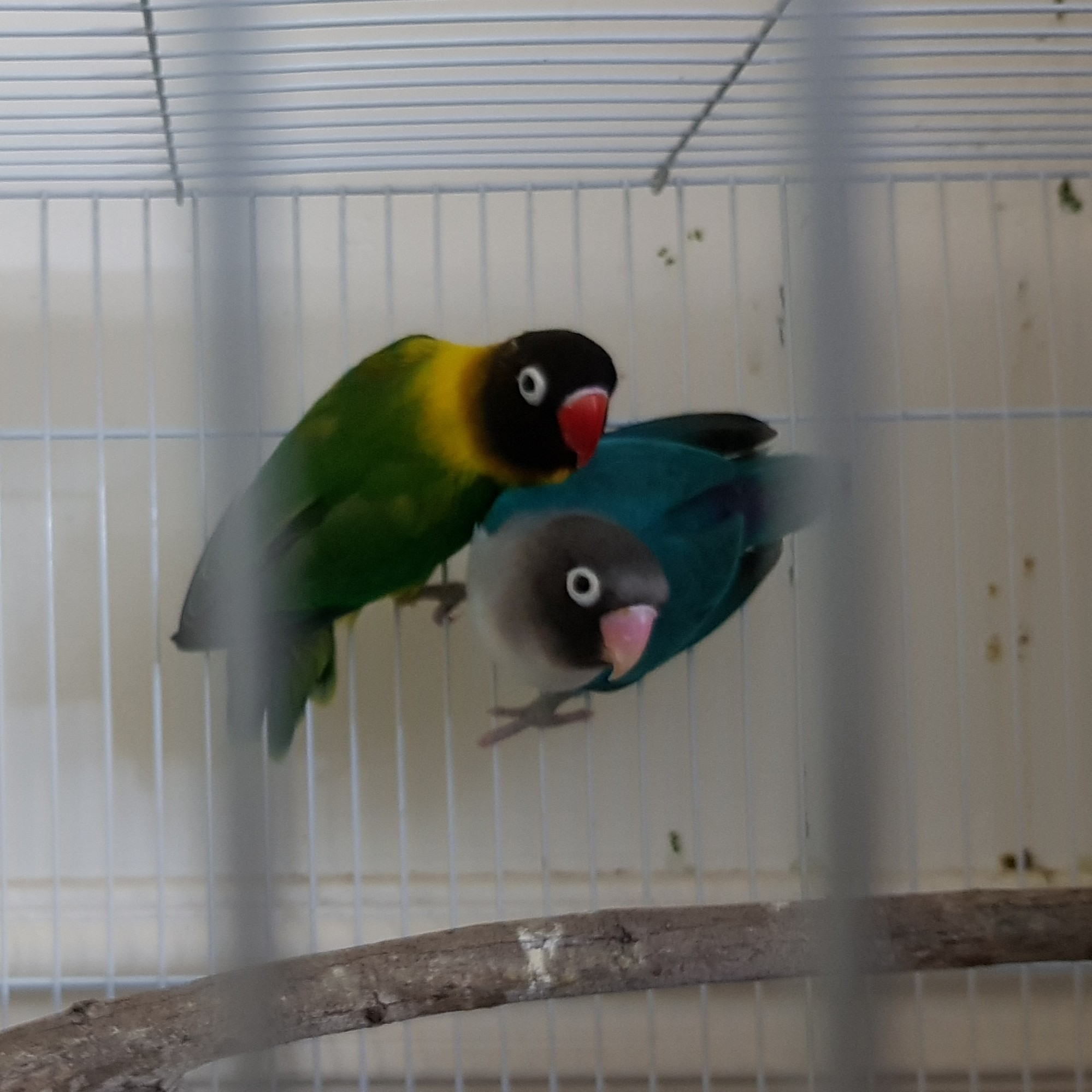 love birds for sale URGENT