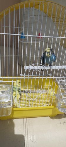 budgie pair with cage