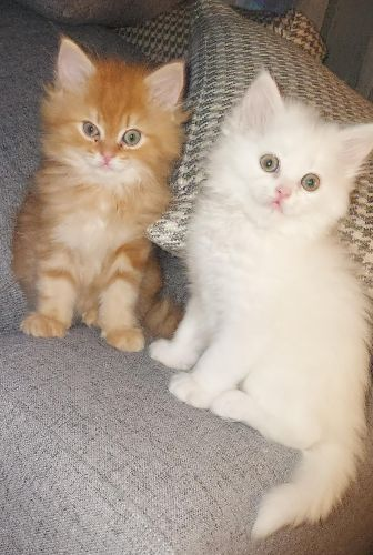kittens for sale  one for 900