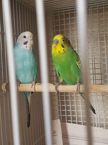 Budgie Pair(Breeding) Available!!