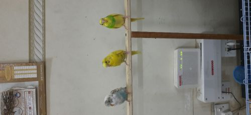 budgie parrots with cage