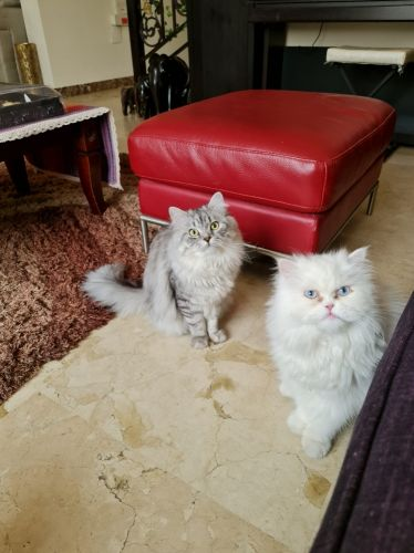 2 male cats for Sale