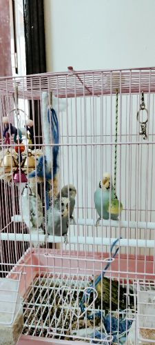 budgies for Sale without cage