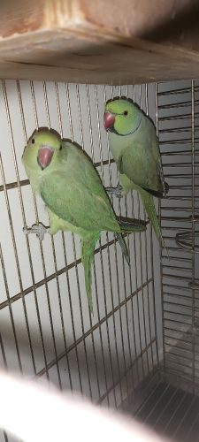 ringneck pair for sale